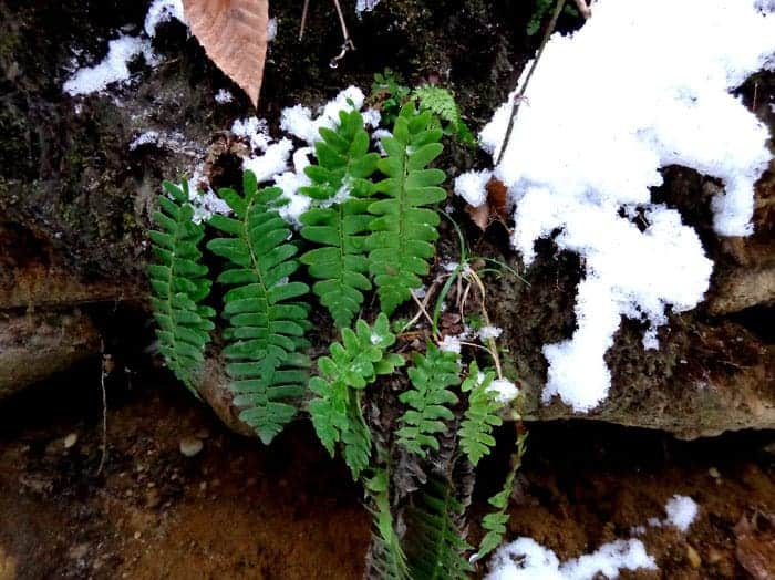 Thom Smith finds color in the winter woods in Dalton, where Christmas ferns show green against the first snow