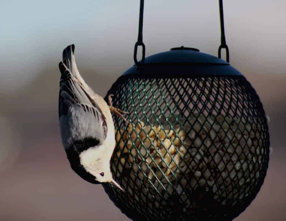 1. White-breasted Nuthatch — the upside down bird is often seen headed down a tree rather than climbing up as woodpeckers do. (BOSS, BOSSH, PNT, PNTH, SUE, SFR) Photo by Thom Smith