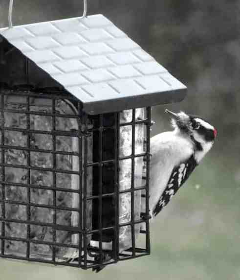 5. Downy Woodpecker — has a short bill and is the smaller version of the hairy woodpecker that has a long bill. It's best to see both together to understand their difference in size. (BOSS, BOSSH, SUE, PNTH). Photo by Thom Smith