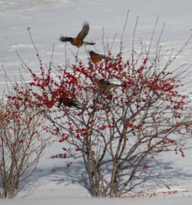 8. American Robin — no longer the harbinger of spring as it once was, they have now been seen year-round. They are most commonly connected with the earthworm, but in fruit-ripening season and in the winter months they make fruits and berries a staple. Attracting these birds in winter will require some planting: They like winterberry (seen here), Dogwood and Crabapples. And like their relative the bluebird,they have come to eat dried mealworms that can be added to your arsenal of bird foods. Photo by Thom Smith