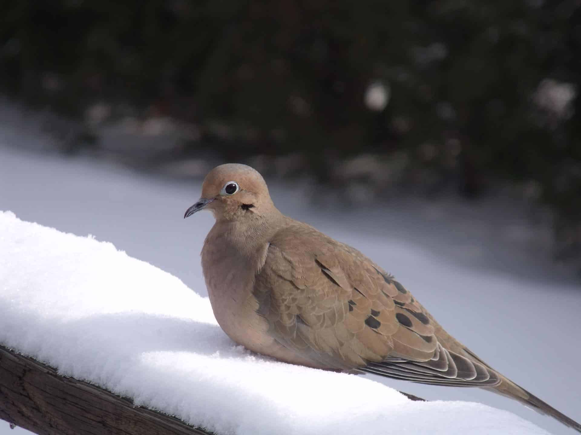 9. Mourning Dove — with their soft, mournful drawn-out calls have inspired their name. Not arrogant birds, nor fussy, they happily eat a wide assortment of seeds on the ground or platform feeder (BOSSH, MLT, MLO, CRN). It is among the most numerous bird in the country. Photo by Thom Smith