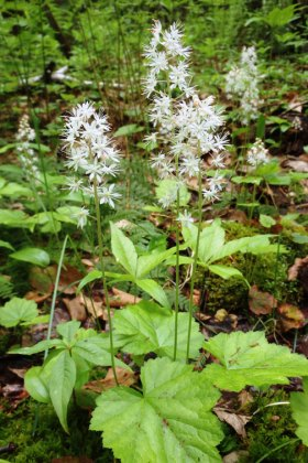 Foamflower, with its many white flowers, is often found in large patches.  It grows in the same conditions as with miterwort (bishop's cap) and is sometimes called false miterwort. Photo by Thom Smith
