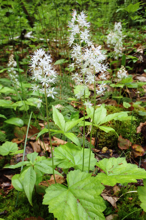 Foamflower,with its many white flowers, is often found in large patches. It grows in the same conditions as with miterwort (bishop's cap) and is sometimes called false miterwort. Photo by Thom Smith
