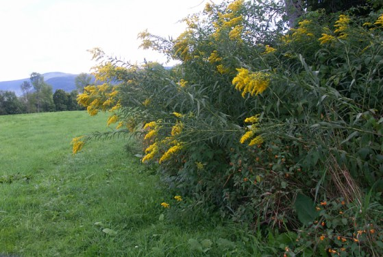 Golden rod blooms at Field Farm. Photo by Thom Smith, courtesy of the artist