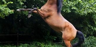 volbloed paard arabier hengst