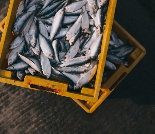 gevangen vissen in gele plastic bakken visvangst van visserij