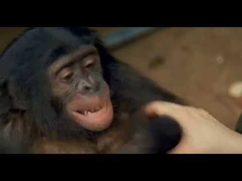 Jeff the Bonobo laughs while tickled