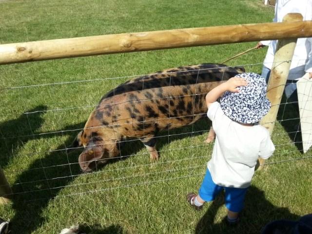 Pigs, really close!