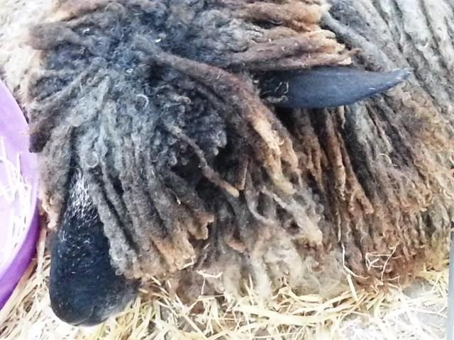 Shaggy dreadlocked sheep