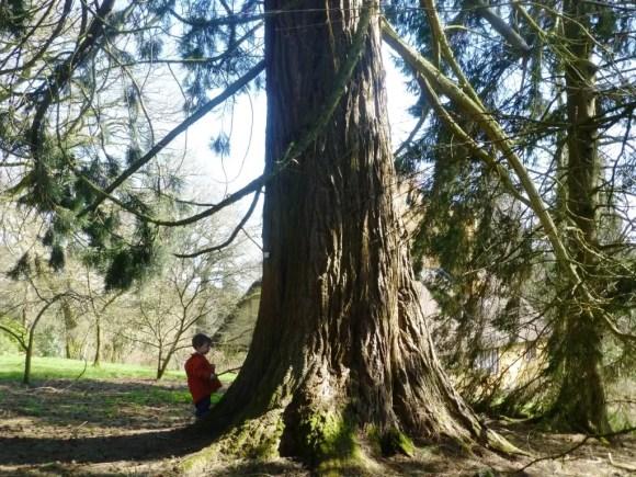 giant redwood and boy