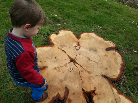 counting tree stump rings
