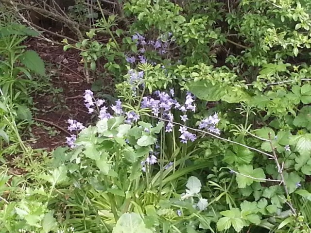 bluebells at home