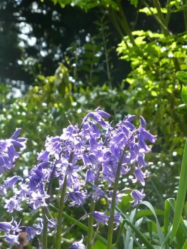 bluebells at charlecote