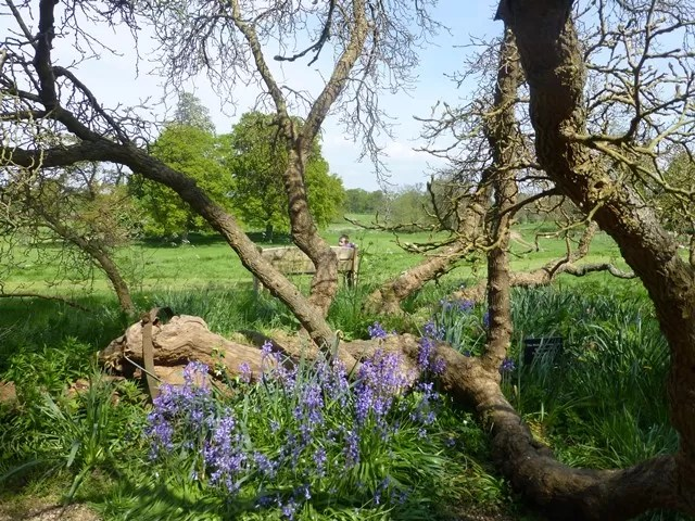 bluebells by the mulberry bush