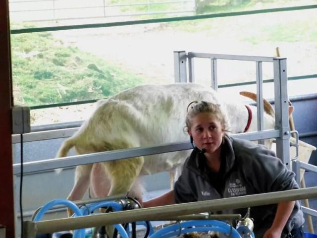 goat milking demo
