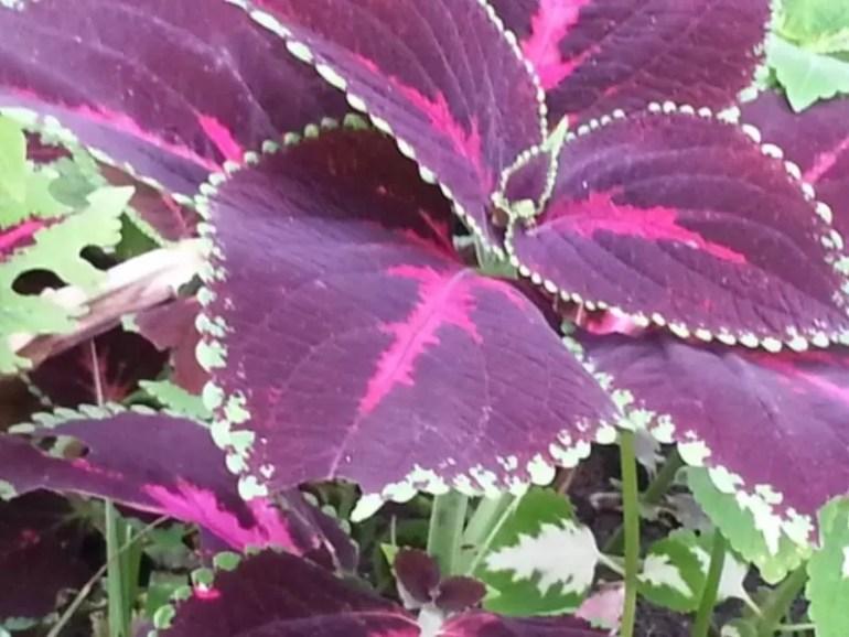 purple leaves.