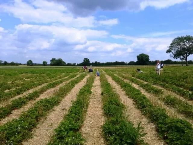 strawberry fields..