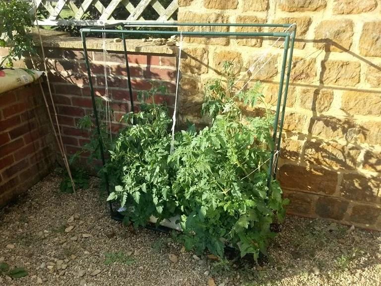 tomato plant jungle 2