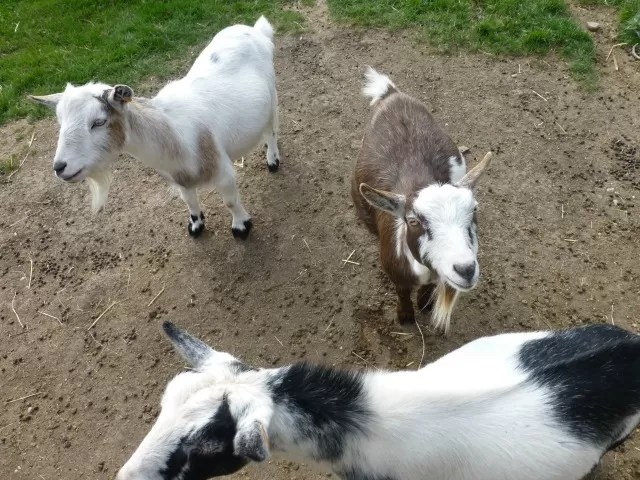 goats at cogges farm