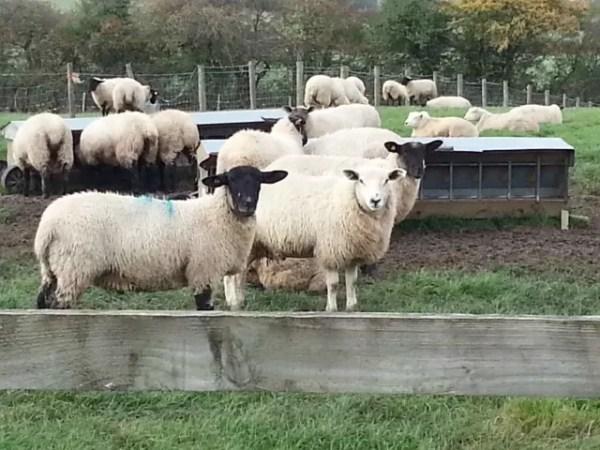 nosy sheep