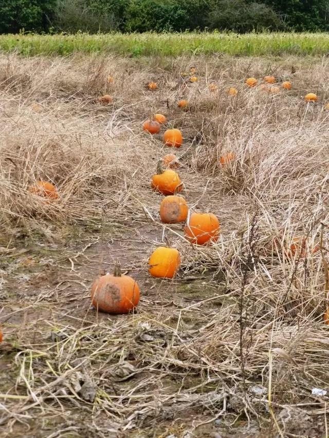 pumpkin patch at hatton