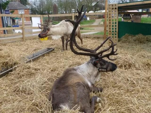 reindeer at Hatton
