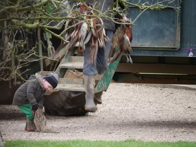 picking up pheasants for the first time
