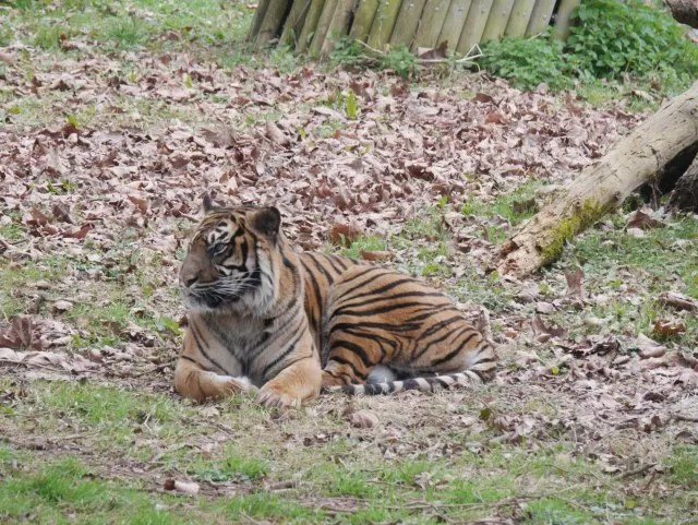 siberian tiger at paignton zoo
