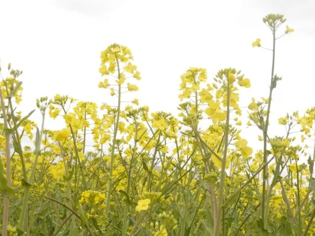 rape seed crops against the sky