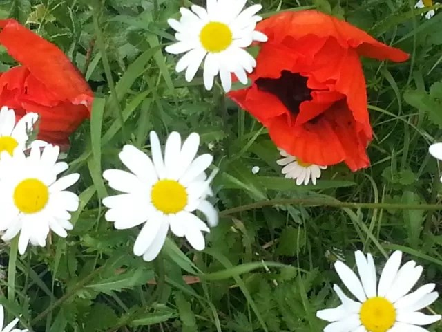 poppies and michaelmas daisies