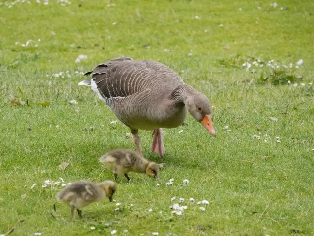 goose and goslings at Trentham Gardens