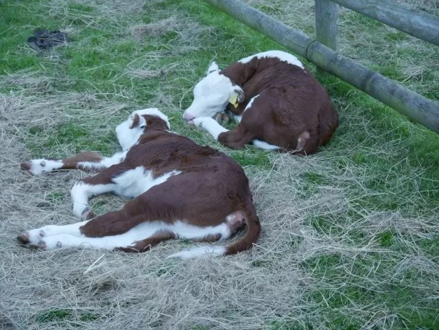 newborn twin calves