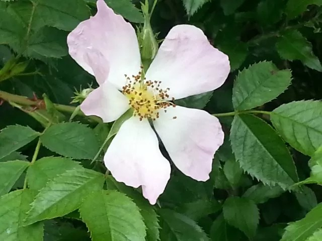 dog rose in the hedges
