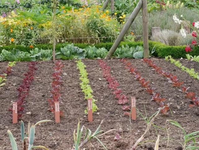 kitchen garden growing plants