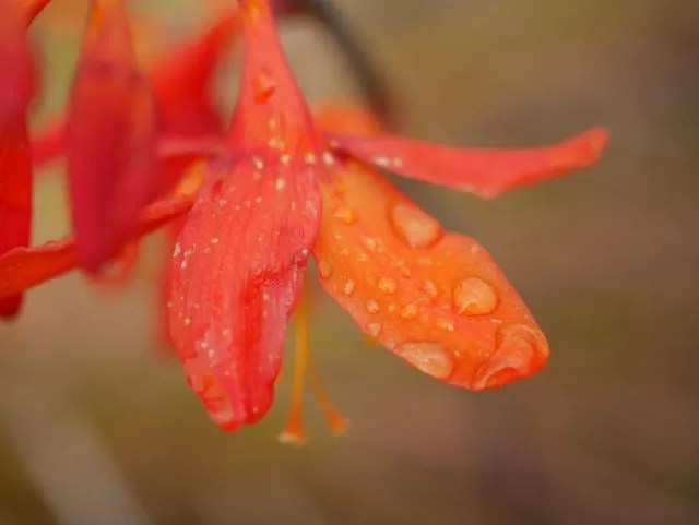 orange flower and raindrops