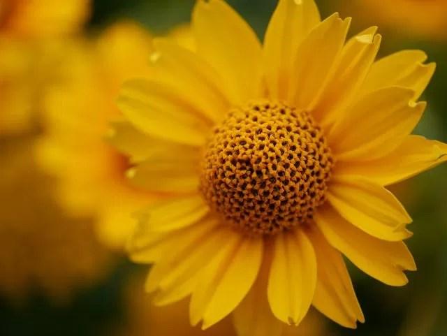 yellow flower macro