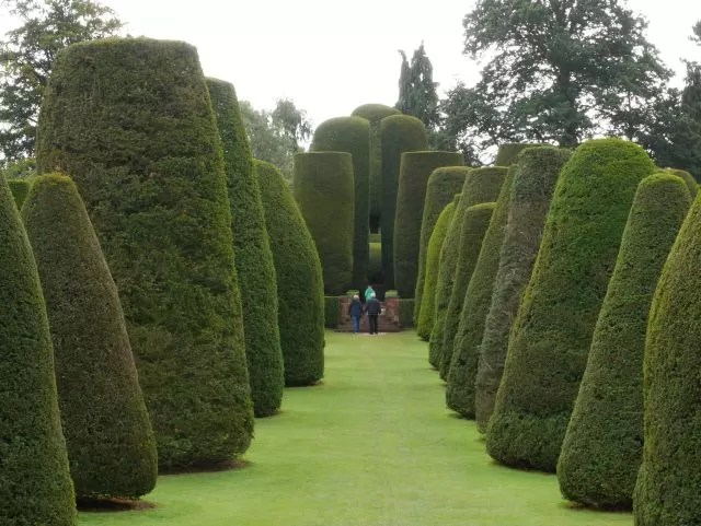 yew trees at packwood house