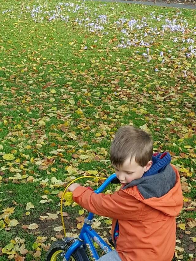 crocuses amongst the fallen autumn leaves