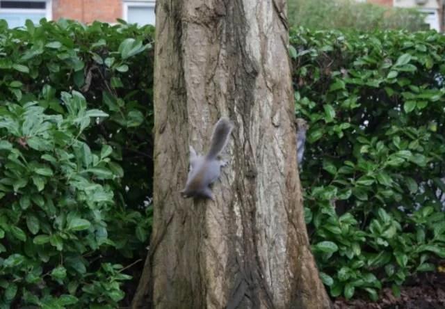 2 grey squirrels chasing around a tree