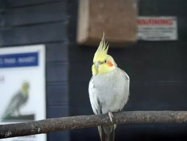 cockatiel in People's Park aviary