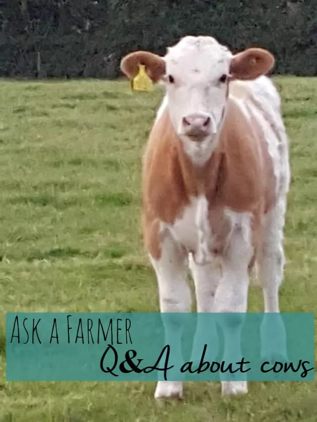 Ask a Farmer- Q&As about cows Bubbablue and me