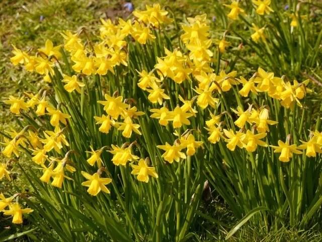 daffodils at Waddesdon