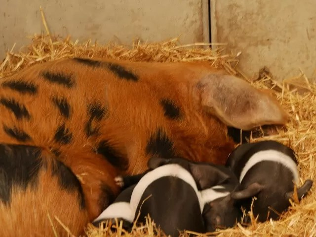 sow and piglets at Green Dragon eco farm