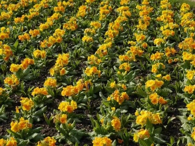yellow pansies at waddesdon manor