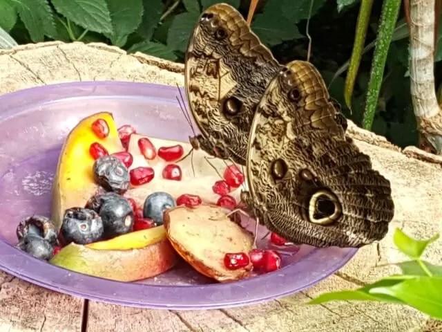 butterflies on fruit at Twycross zoo - My Sunday photo
