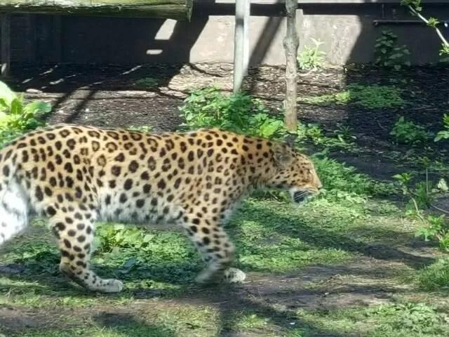 big cat at twycross zoo