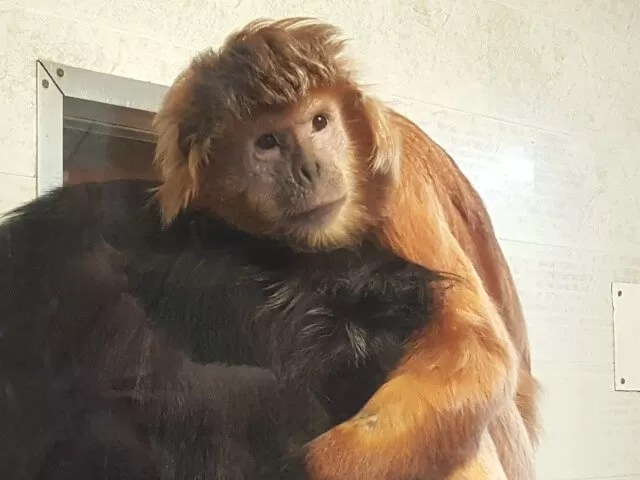 monkey hugs at Twycross zoo