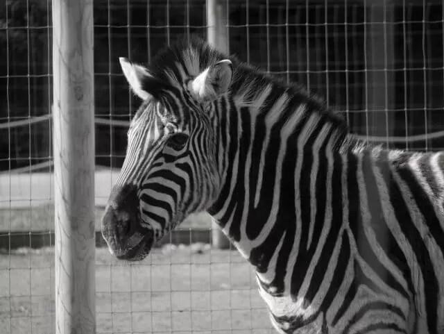 zebra at twycross zoo
