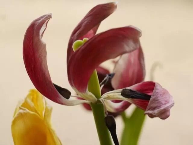decaying tulips