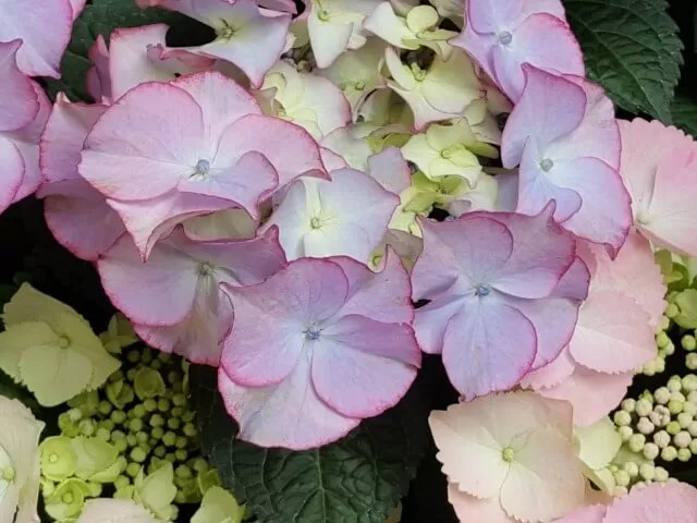 hydrangeas at Waddesdon
